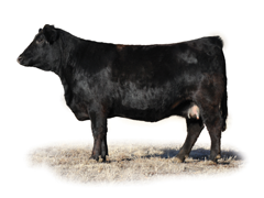 Fusion Cattle