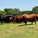 Grassfed Cattle