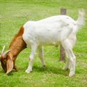 Goats on Cattle Ranches